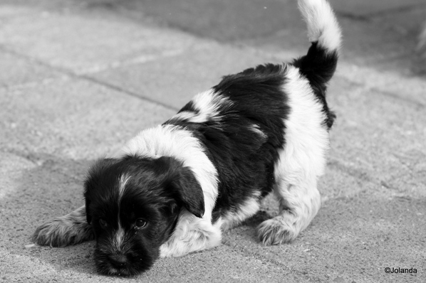 Schapendoes Puppy playing