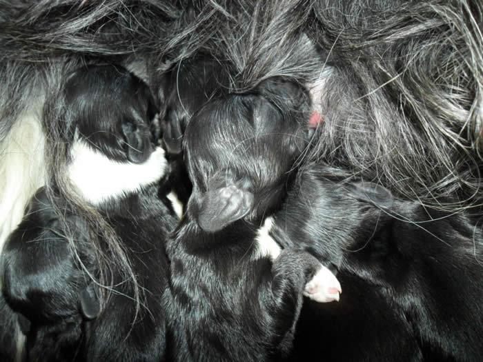 Schapendoes Puppy feeding