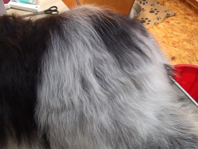 Schapendoes hair all brushed out
