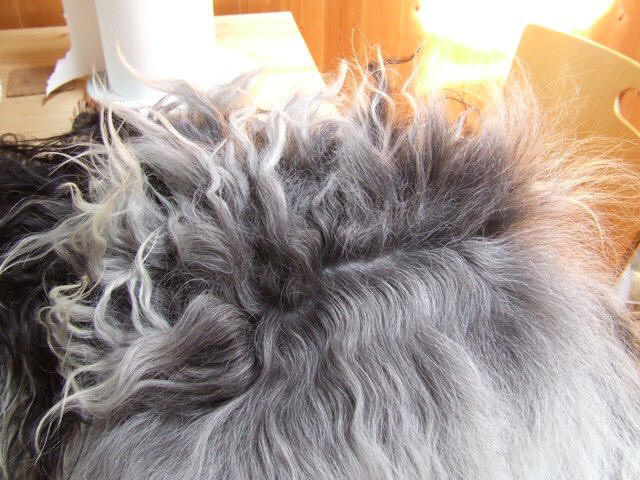 Schapendoes hair brushed piece by piece from bottom to top of dog