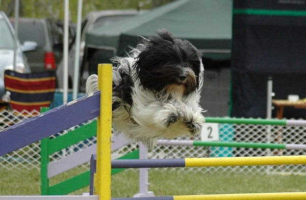 Schapendoes agility jumps